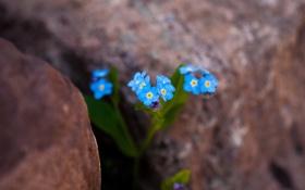 Обои цветы, камни, голубые, нежные, незабудки