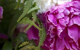 Обои капли, лепестки, листья, Папоротник, природа, Пионы, растения
