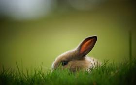 Обои трава, фон, заяц, кролик, зайчик, прячется