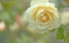 Картинка роза, жёлтая, макро