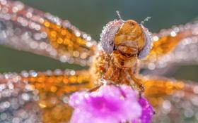 Картинка капли, макро, роса, стрекоза, насекомое