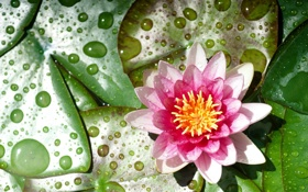 Обои цветок, капли, кувшинка