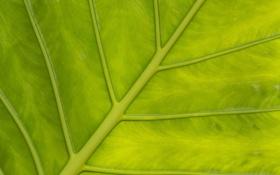 Обои макро, лист, текстура, жилки