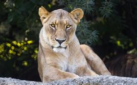 Обои кошка, взгляд, морда, камень, львица, ©Tambako The Jaguar