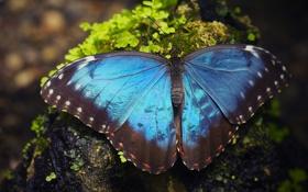 Обои макро, бабочка, Морфо Пелеида