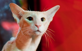 Картинка кошка, глаза, фон