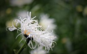 Обои цветок, макро, размытость, ромашка, белая, махровая