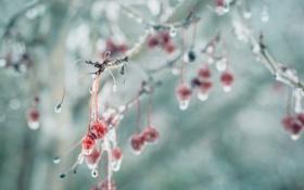 Картинка осень, ягоды, лёд