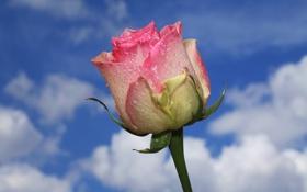 Картинка небо, вода, облака, капли, роса, роза, лепестки