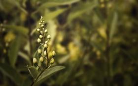 Картинка макро, цветы, бутоны, flowers, кустарник, лавр, лавровый