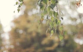 Обои листья, береза, боке