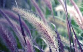 Картинка трава, растение, Макро, колоски