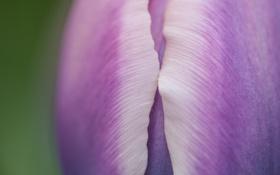 Картинка весна, макро, лепестки, тюльпан, бутон