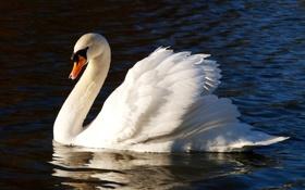 Картинка вода, отражение, птица, рябь, лебедь, шипун