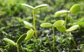 Обои капли, дождь, листочки, растения, зелень, ростки