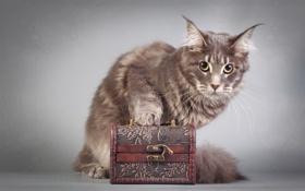 Картинка фон, кошка, взгляд, Мейн-ку́н