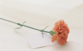 Обои цветок, лепестки, гвоздика