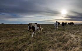 Обои поле, пейзаж, кони, утро