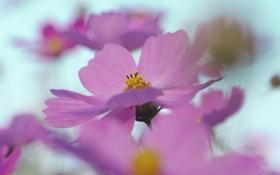 Картинка цветок, небо, макро, розовый, весна, лепестки, размытость