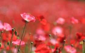 Картинка красные, мак, маки, поле, цветы