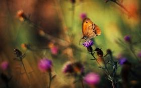 Картинка цветок, макро, бабочка, чертополох