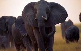 Обои Wallpaper, Africa, Outside, Herd, Black Elephant