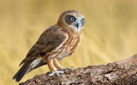 Обои сова, птица, Southern Boobook, Ninox novaeseelandiae, ветка