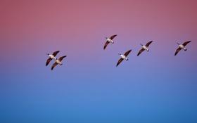 Обои небо, птицы, природа, утки, зарево