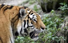 Картинка кошка, морда, тигр, профиль, амурский