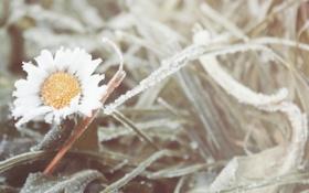 Обои холод, иней, цветок, трава, ромашка