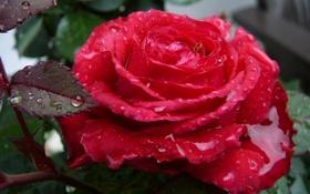 Обои Роза, слезы, шипы