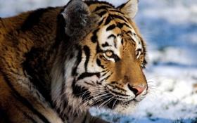 Обои усы, взгляд, морда, тигр, tiger, panthera tigris