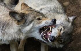 Картинка хищники, пасть, клыки, волки