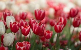 Картинка красные, тюльпаны, белые, цветы
