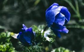 Обои цветы, лепестки, синие