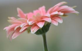 Обои цветок, растение, лепестки, гербера