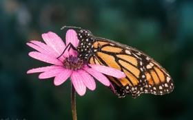 Обои цветок, макро, бабочка, растение, насекомое