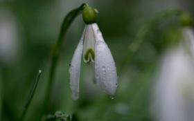 Обои белый, цветок, капли, роса, весна, подснежник