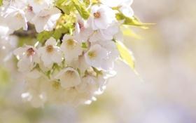 Обои листья, весна, цветение, ветка, цветы