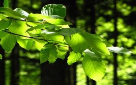 Обои зелень, лето, листья, деревья, веточка, день, солнечный свет