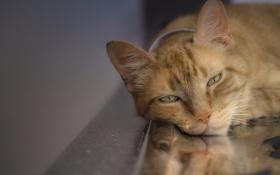 Обои кот, сонный, глаза, рыжий, ошейник, усы