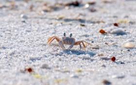 Картинка песок, животные, берег, краб, песчинки, крабик