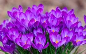 Обои весна, шафран, крокусы