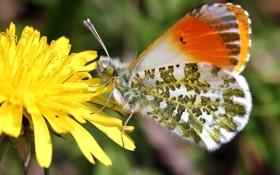 Обои цветок, макро, одуванчик, бабочка, Зорька сердечниковая
