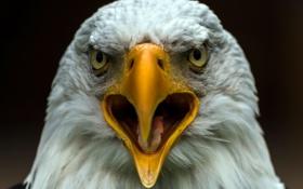 Картинка макро, птица, орёл