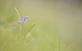 Обои весенний, цветок, голубой, фон, размытость