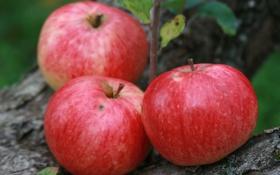 Картинка природа, фон, яблоки, еда, сад, урожай, фрукты
