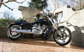Обои пальмы, стена, V-Rod, Muscle, Harley-Davidson, VRSCF, чёпер