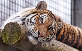 Картинка взгляд, морда, тигр, амурский