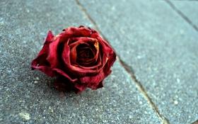 Обои роза, rose, макро, красный цветок